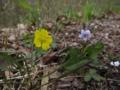 [花]ミツバツチグリ??
