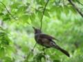 [鳥]ヒヨドリ