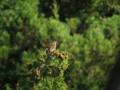 [鳥]ホオジロ