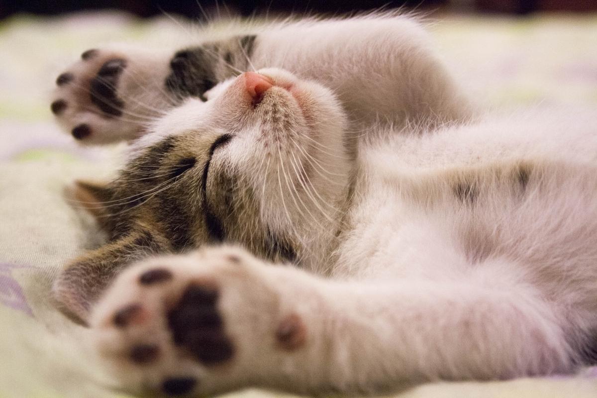 猫、寝ながら、万歳