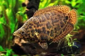 レオパードクテノポマの成魚