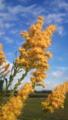 セイタカアワダチソウ。外来種、新潟の原風景にはミスマッチ(-_-;)