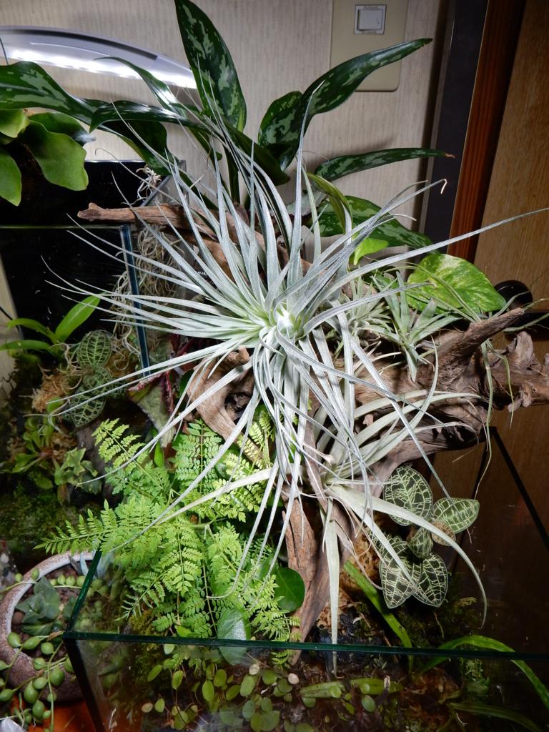 f:id:aquaticplants:20160702204647j:plain