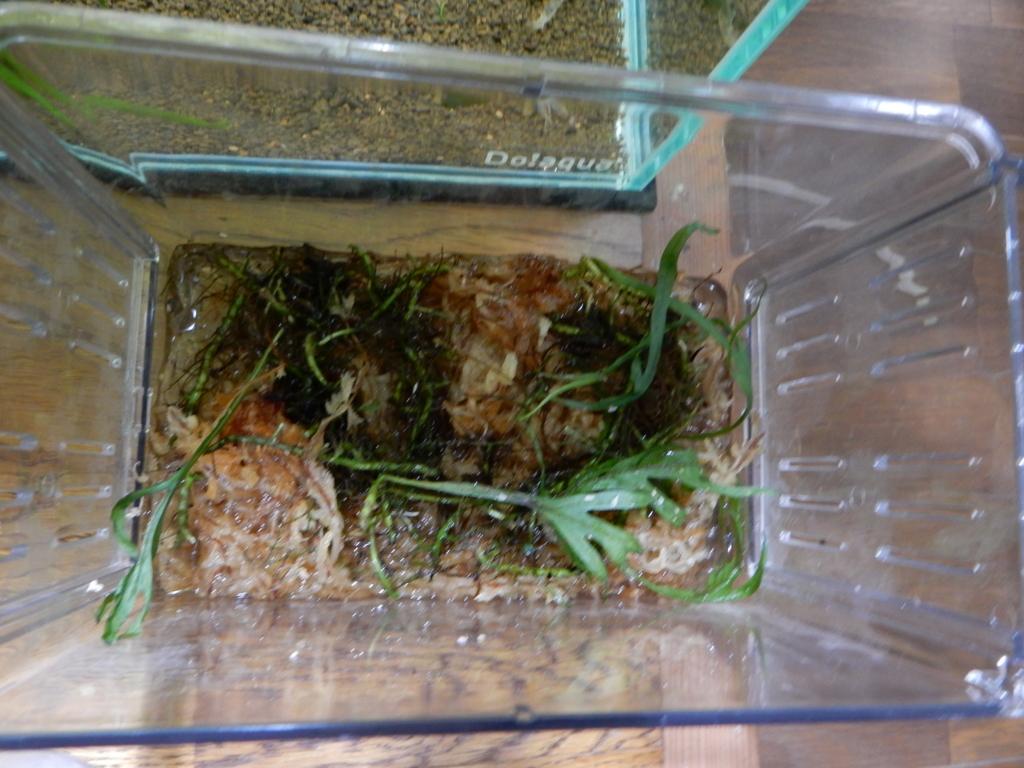 f:id:aquaticplants:20160706194854j:plain