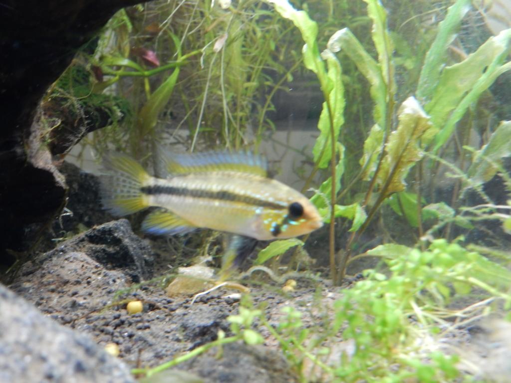 f:id:aquaticplants:20160706195310j:plain