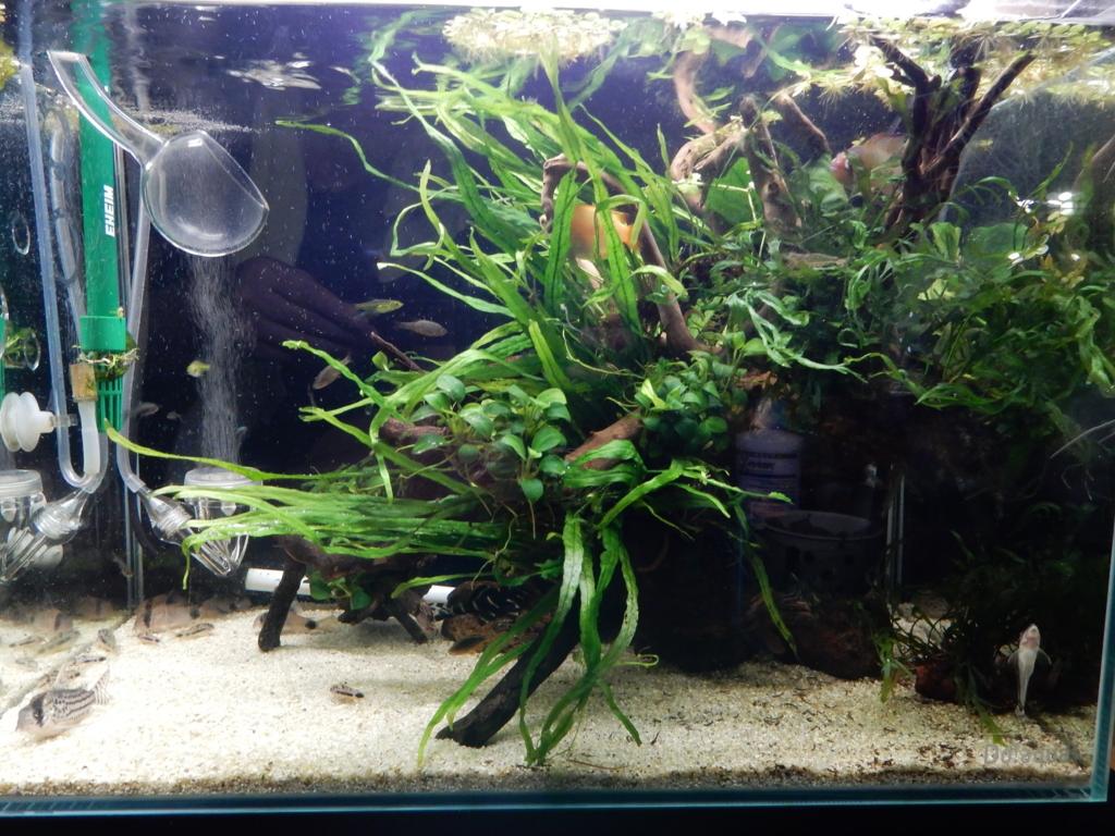 f:id:aquaticplants:20160706195833j:plain