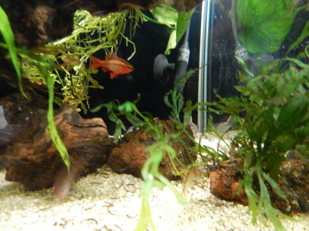 f:id:aquaticplants:20160706195840j:plain