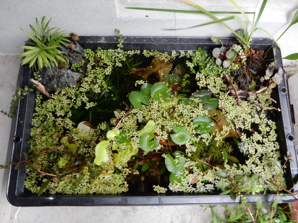 f:id:aquaticplants:20160723214602j:plain