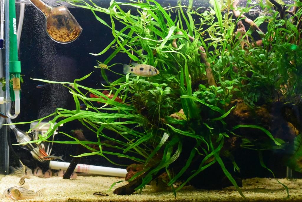 f:id:aquaticplants:20160903180056j:plain