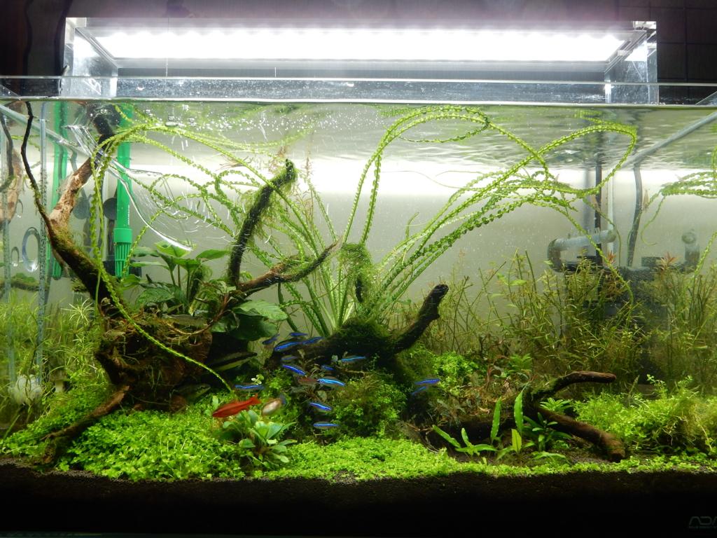 f:id:aquaticplants:20160925173916j:plain
