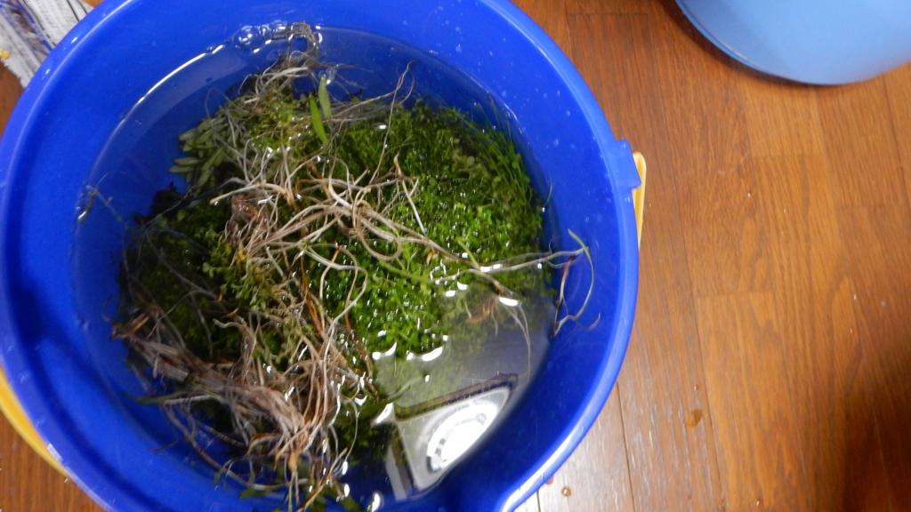 f:id:aquaticplants:20161010220529j:plain