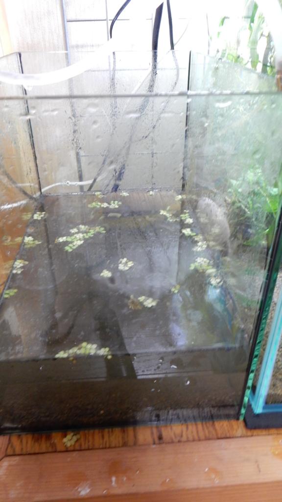 f:id:aquaticplants:20161010221017j:plain