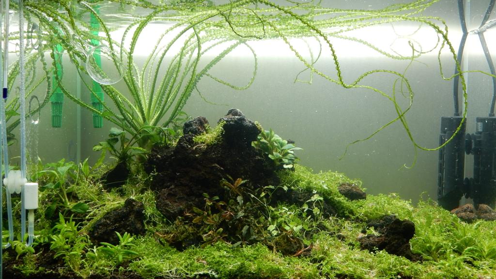 f:id:aquaticplants:20161010222928j:plain