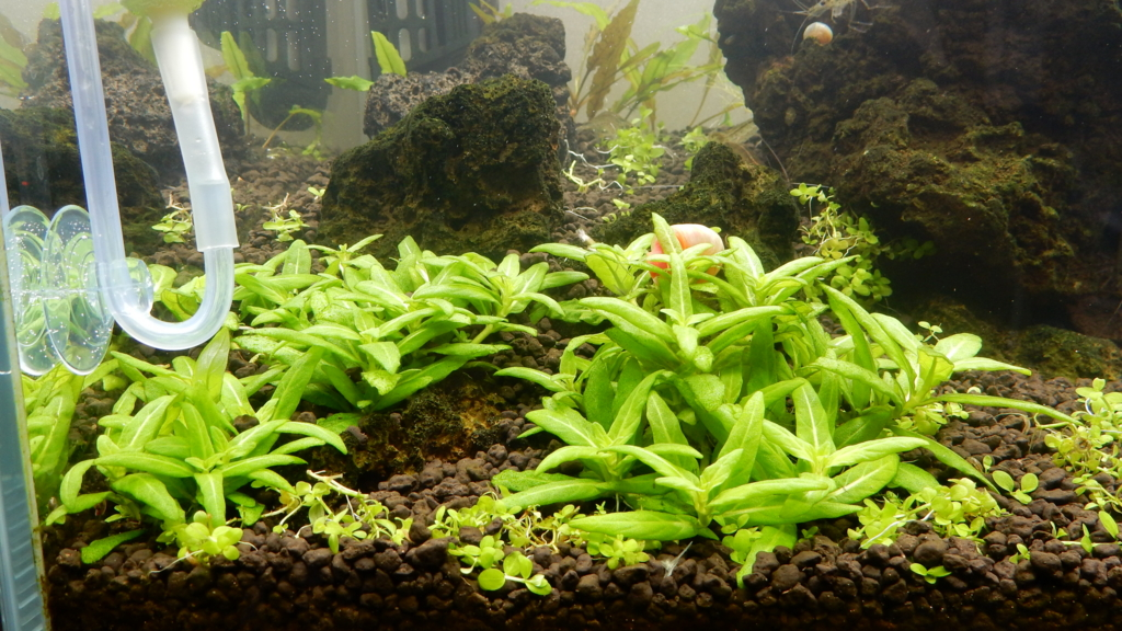 f:id:aquaticplants:20161127184129j:plain