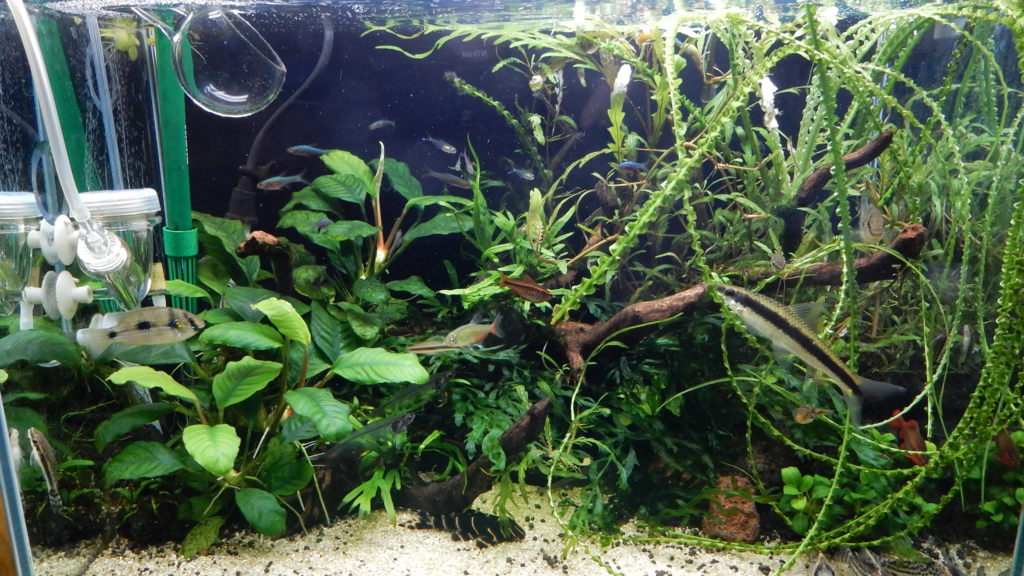 f:id:aquaticplants:20161218195309j:plain