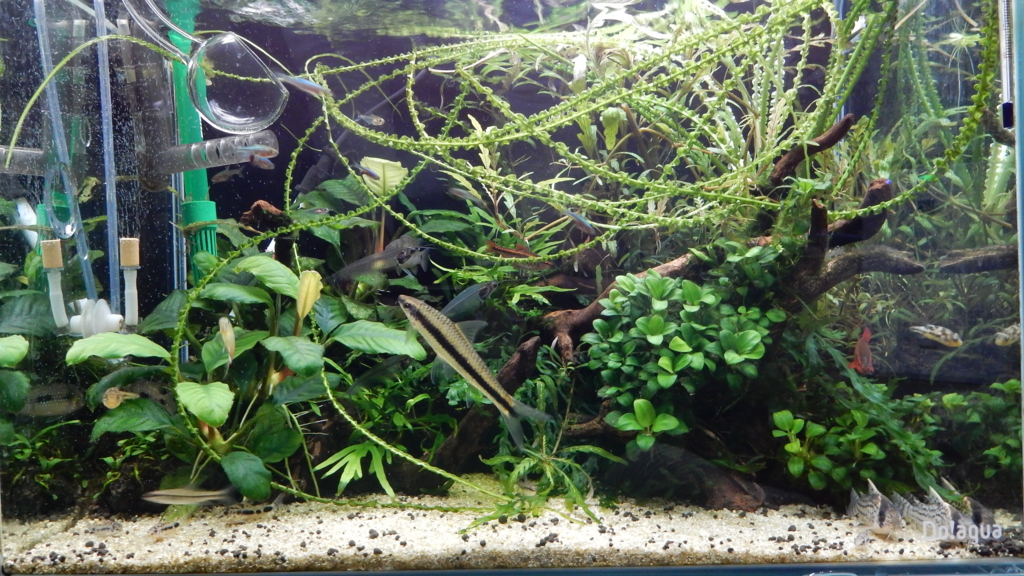 f:id:aquaticplants:20161226185330j:plain