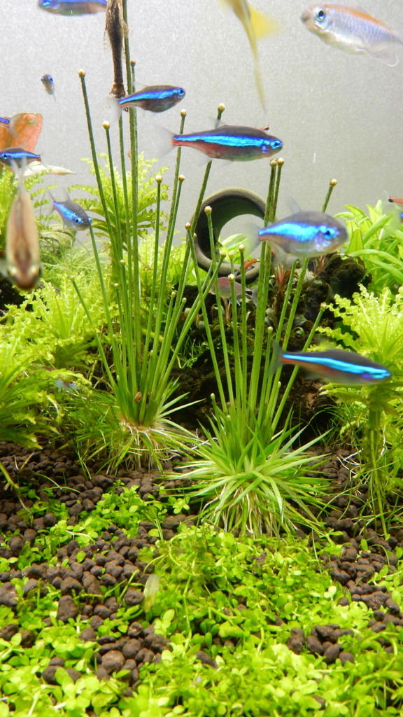 f:id:aquaticplants:20170226210530j:plain