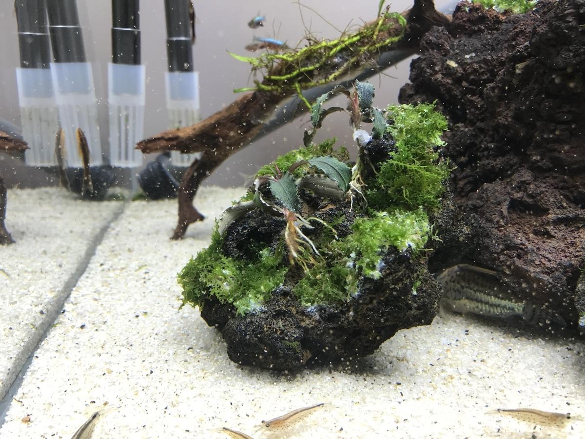 f:id:aquaticplants:20210502210240j:plain