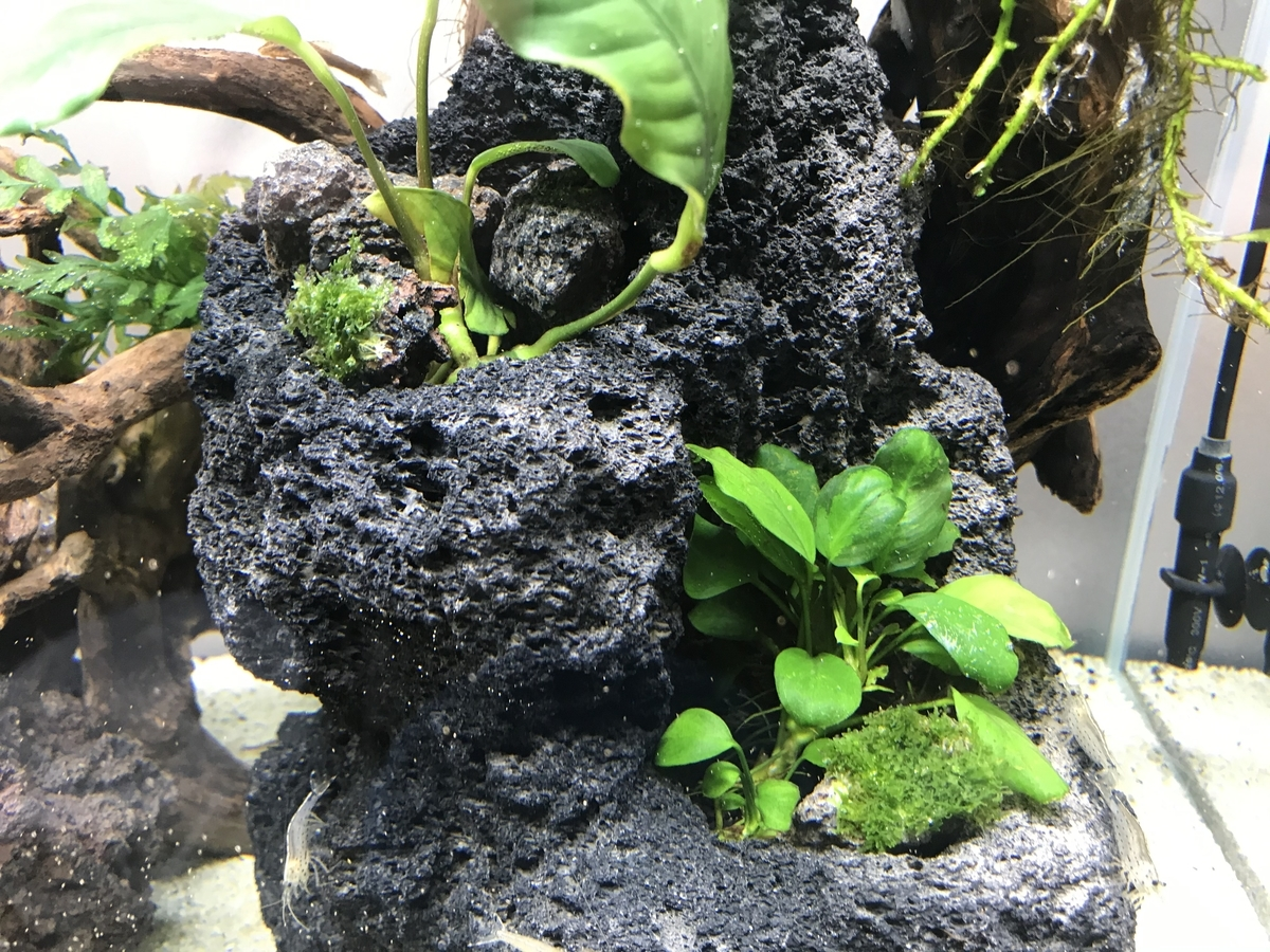 f:id:aquaticplants:20210502210250j:plain