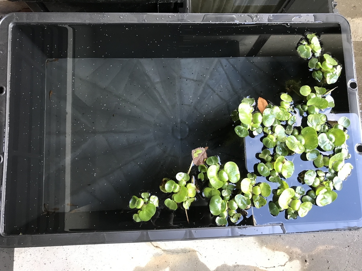 f:id:aquaticplants:20210502210725j:plain