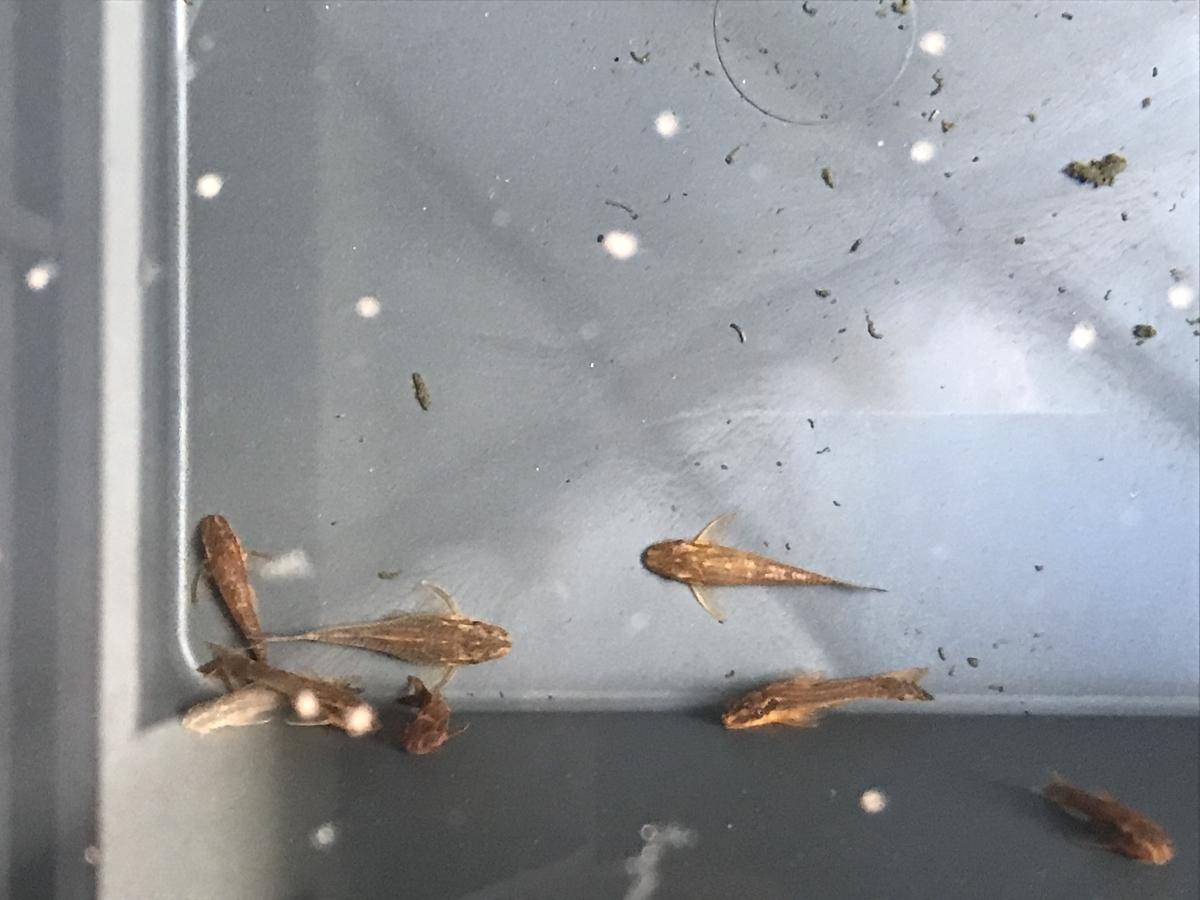 f:id:aquaticplants:20210502210743j:plain