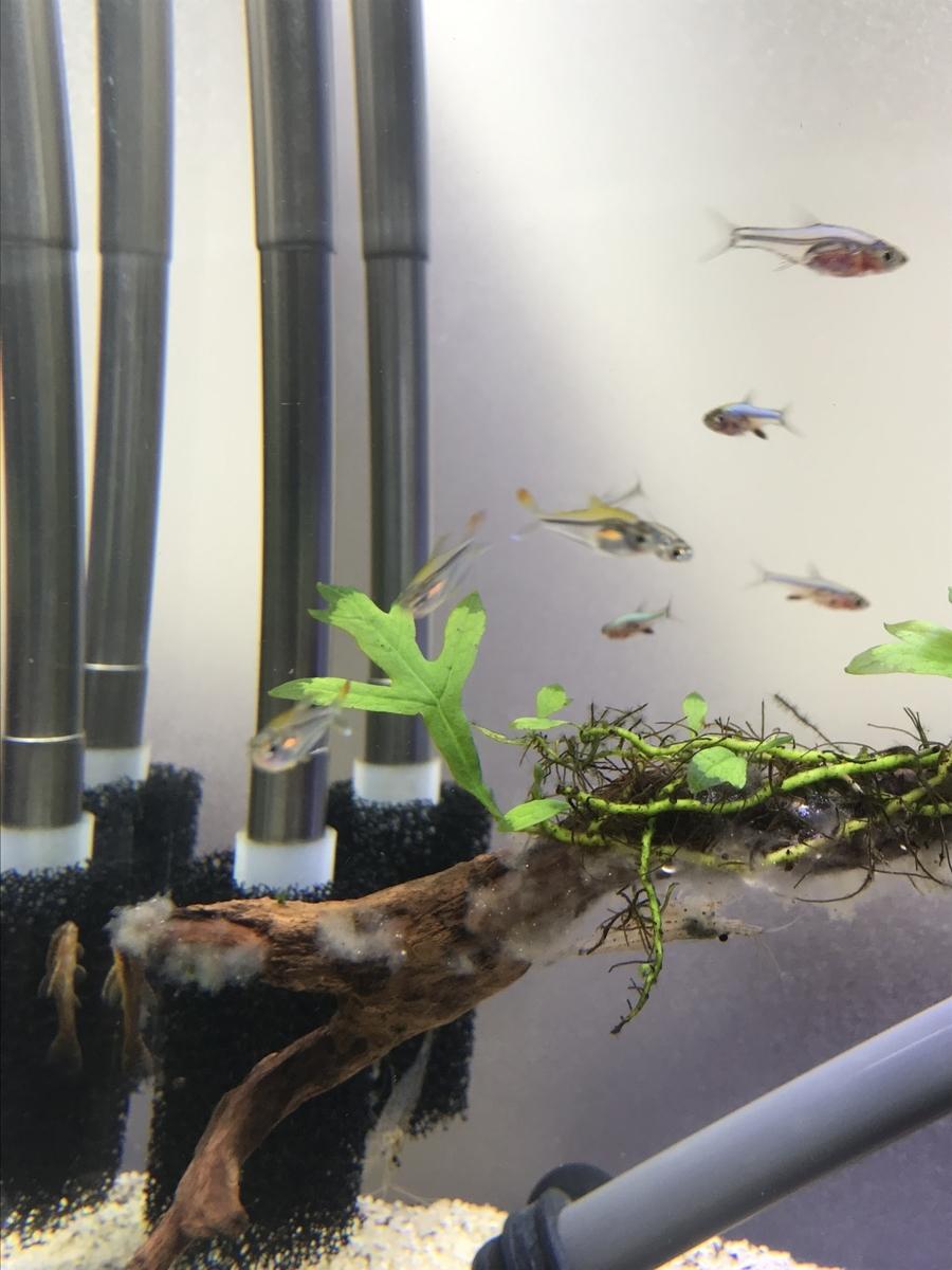 f:id:aquaticplants:20210523190719j:plain
