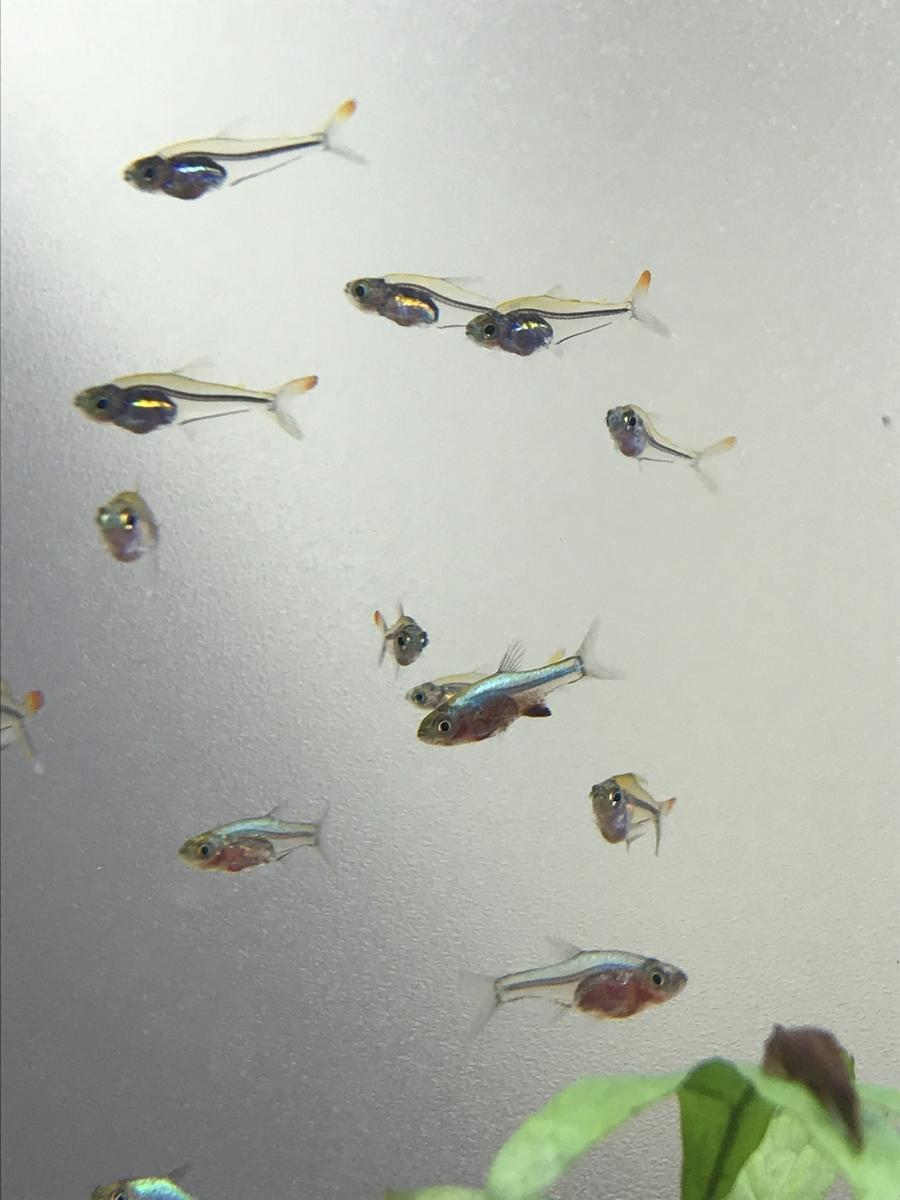 f:id:aquaticplants:20210529232452j:plain