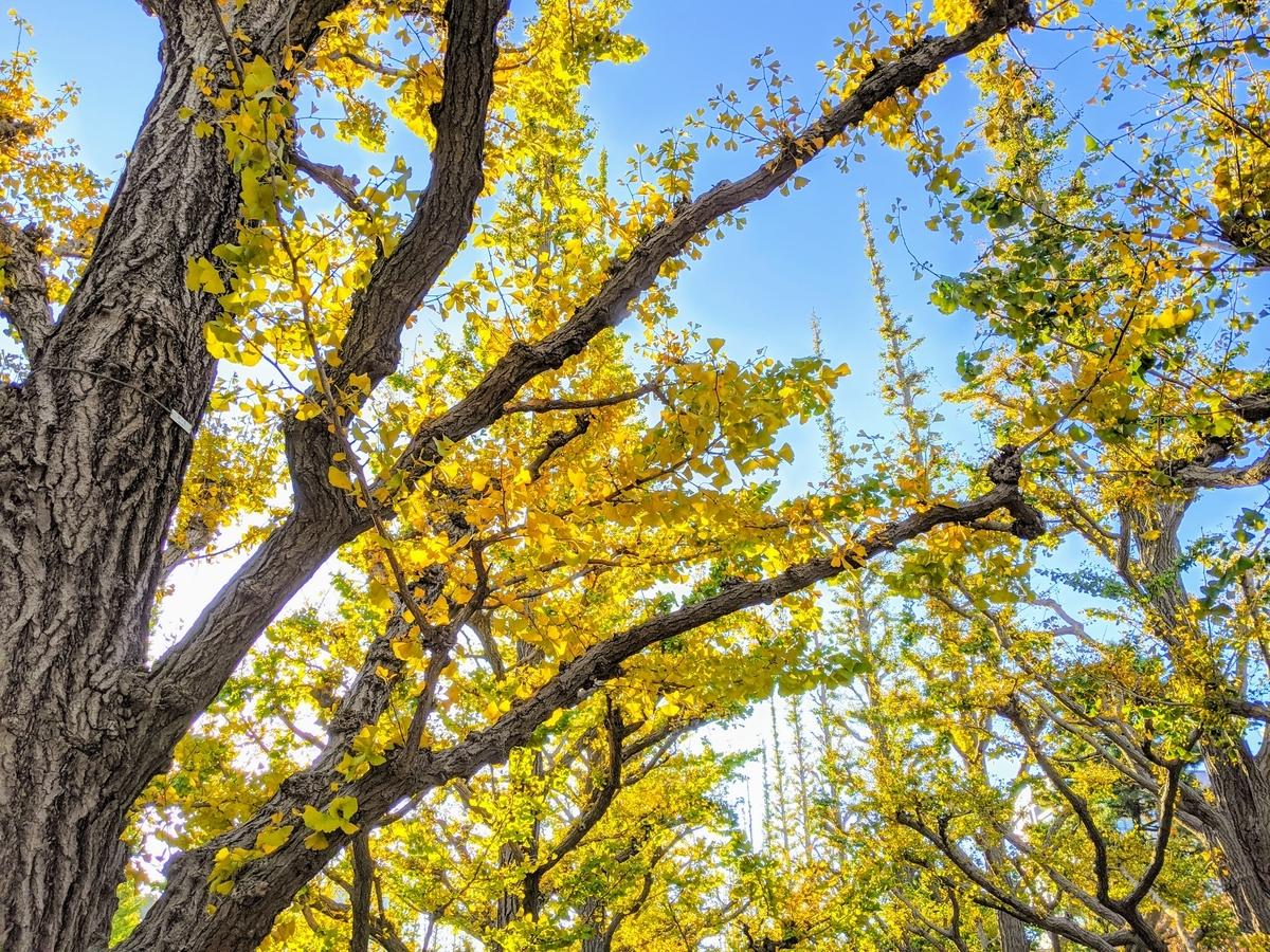皇居外苑のイチョウ並木