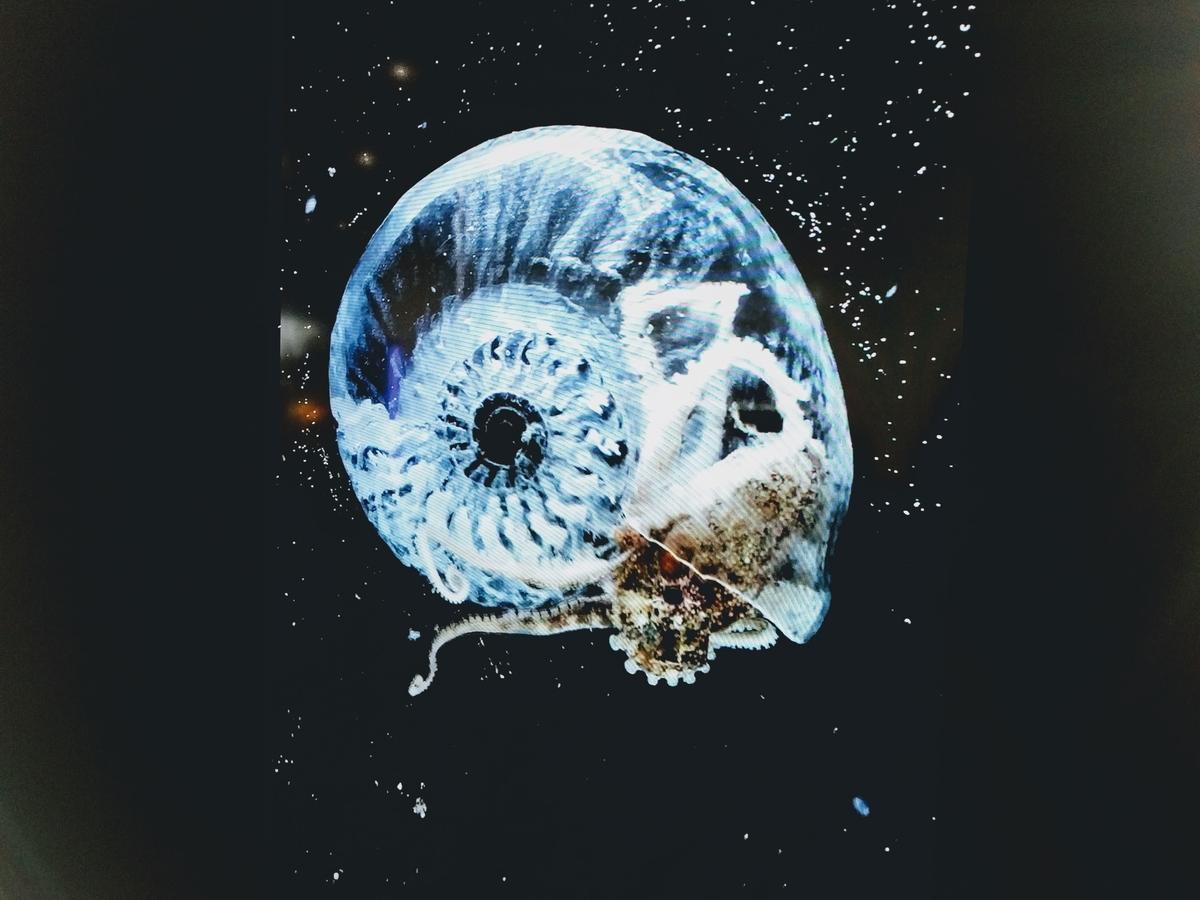 蛸に復元したアンモナイトの殻を与えた作品。「進化への考察」by AKI INOMATA