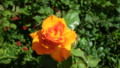 [UK2009]Rose in Hyde park