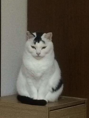 猫 白黒 正面