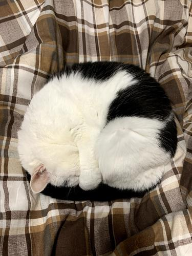 眠る猫 丸まって寝る猫 ニャンモナイト