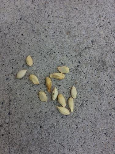 レモンの種 種 種子