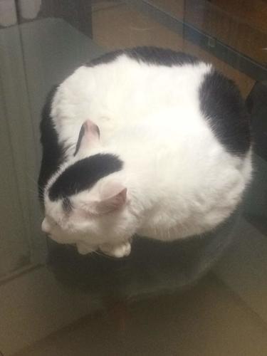猫 白黒猫