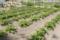 ジャガイモ畑(秋田県秋田市の楽しい幼稚園 新屋幼稚園)食育