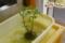 ジャガイモ水栽培(秋田県秋田市の楽しい幼稚園 新屋幼稚園)食育