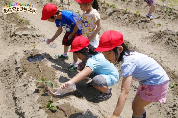 サツマイモ水やり(秋田県秋田市の楽しい幼稚園 新屋幼稚園)食育