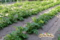 ジャガイモ成長中(秋田県秋田市の楽しい幼稚園 新屋幼稚園)食育