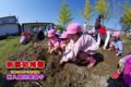 サツマイモ収穫(秋田県秋田市の楽しい幼稚園 新屋幼稚園)食育