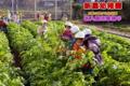ダイコン収穫(秋田県秋田市の楽しい幼稚園 新屋幼稚園)食育