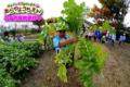 ダイコン収穫(秋田県秋田市の楽しい幼稚園 新屋幼稚園)