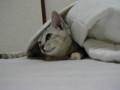 [猫画像]何かを注視する猫