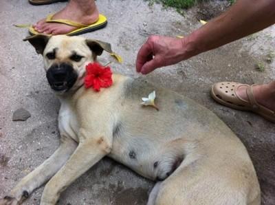 フラワーハラスメントを受けているカオハガン島の犬
