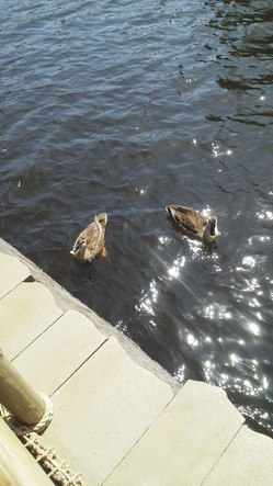 ディズニーランド・ミシシッピ川の鴨