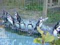 ペンギン@円山動物園