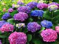 紫陽花 お気に入り画像引用