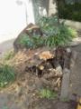 根こそぎ倒れた桜の木