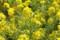 TDS風景(菜の花)