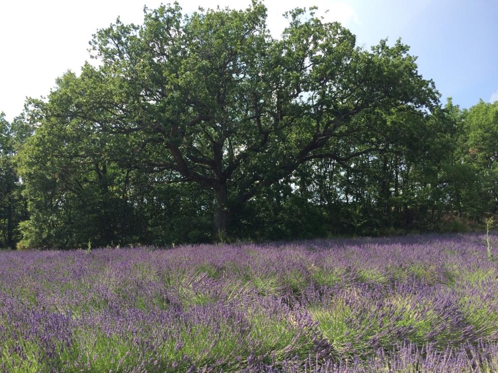 Lavandin field in France