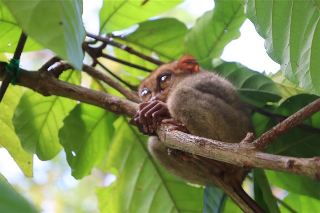 フィリピン・ボホールに生息するターシャが枝につかまっている